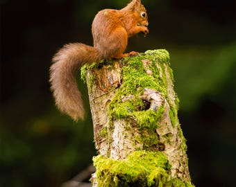 Wildlife Photographic signed mounted A4/A3 Prints of a Red Squirrel