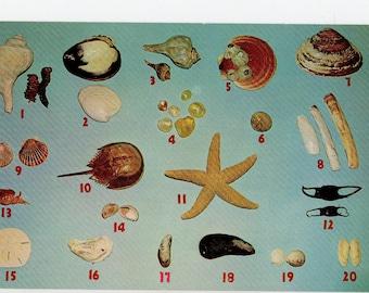 Cape Cod Seashell Postcard   Art Seashells Sea Shells Beach Nautical Museum Nature Ocean Starfish Beachcombing   Paper Ephemera