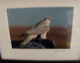 Gryfalcon  Signed Photo BY Wildlife Photographer  JOHN FLOWER