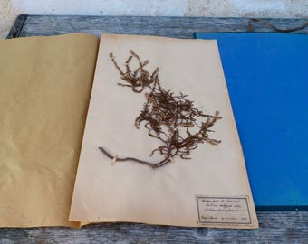 Antique-1887-1889-French-herbarium Calluna Vulgaris