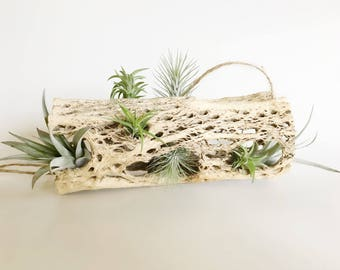 Tillandsia Air Plants with Cholla Hanging // Air Plant / Air Plants / Modern / Unusual / Rare / Silvery Green Soft Leaves / Collector / Love