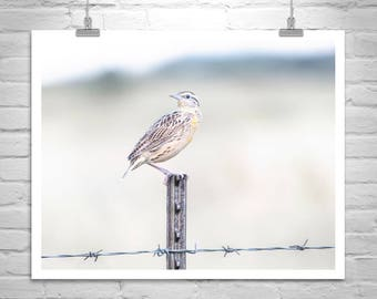 Bird Photography, Bird on a Wire, Bobolink, Barbed Wire Fence, Wildlife Art, Rustic Ranch, Sonoita, Tucson, Bird Print, Beige, Pale Yellow