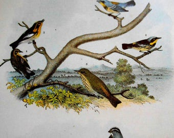 Warbler color lithograph, Large Vintage Bird Print from Studer's Popular Ornithology, wall art print
