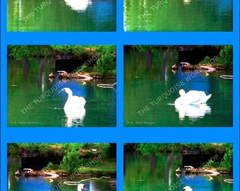 PHOTO Composition, SWAN DANCE, Swan Photos, Printable Photography, Digital downloads, photos, photography
