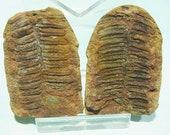 Pecopteris fossile fougère feuille 2 pièce formation mimi Creek, IL, 18t50 fossiles positives et négatives