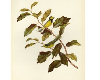 Hooded Warbler by Athos Menaboni Bird Book Plate SALE Buy 3, get 1 free
