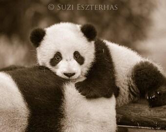 BABY PANDA PHOTO, Baby Animal Photograph, Baby Animal Print, Sepia Photography, Wall Decor, Safari Nursery Art, Kids Room Decor