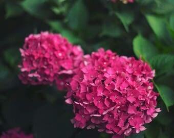 Pink Hydrangeas - Fine Art Photograph, Flowers, Nature, Garden Photography