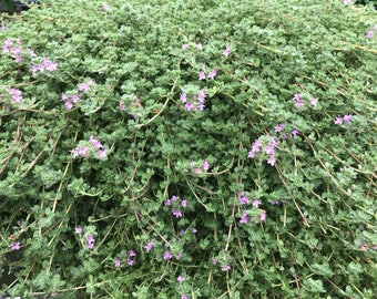 Pink Chintz Thyme, Live Thyme Plant, Great Groundcover Thyme, Spreading Green Foliage and Pink Flowers in Summer, Great for Rock Gardens