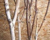 Birch Forked Limbs    5-  5' to 6' tall