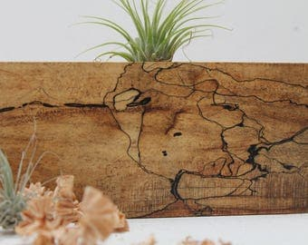 Spalted Air Plant Holder      M02