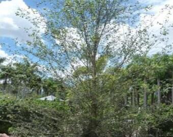 100 Water Birch Tree Seeds, Betula Occidentalis