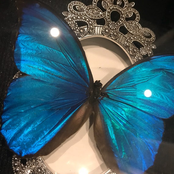 Real blue morpho butterfly taxidermy display!