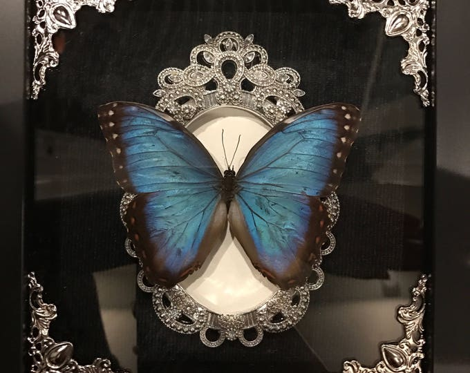 Real black banded blue morpho butterfly taxidermy display!
