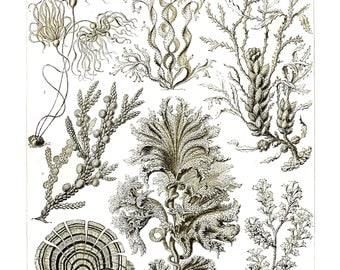 Ernst Haeckel's Vintage Artwork Fucoideae