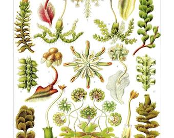 Ernst Haeckel's Vintage Artwork Hepaticae