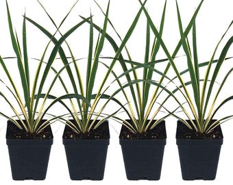 Set of 4 Yucca Bright Edge Plant Hardy Perennial Plant 4 Inch Potted Grown Organic