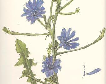 Vintage botanical print - Cichorium Intybus L. - 31