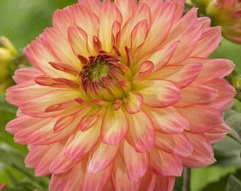 BIG SALE Dahlia Pablo, Dinner Plate Dahlia Tubers , Great Cut Flowers,Blooms Summer to fall