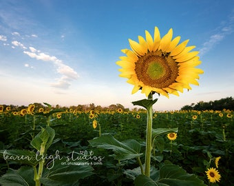 Reach for the Sun Sunflower Two Print