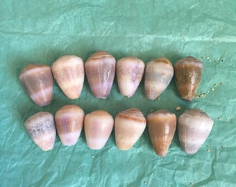 12 Mix Low Quality Hawaiian Cone Shells