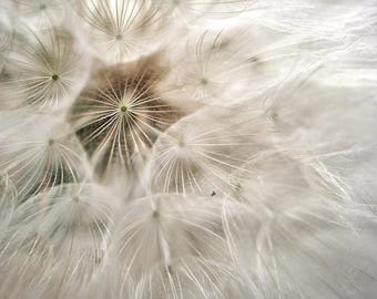 Dandelion print, large photography, botanical print, dandelion wall art, nursery baby girl room bedroom decor, off white brown neutral art