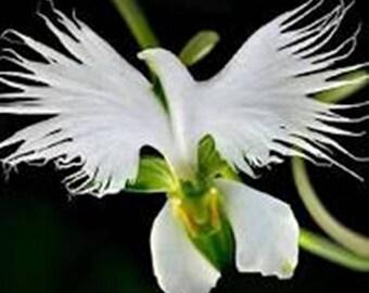 White Dove Orchid/Egret Flower * Seeds