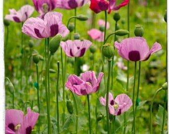 Papaver somniferum 'Burma Giants' 300+ SEEDS