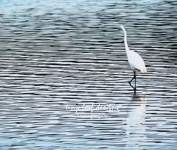 Egret Original Photograph  Canvas 10x13 or Pack of Notecards FREE SHIPPING