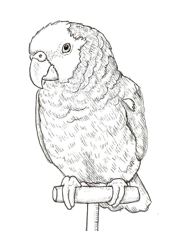 Sally Blanchard Original Pen and Ink Drawing of a double yellow-head Amazon on perch
