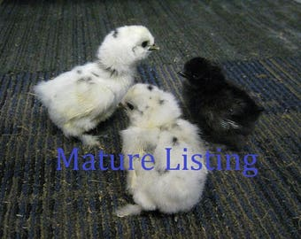Wet Preserved Paint Silkie Chick E