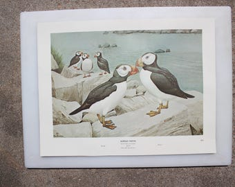 Horned Puffin 14, Rex Brasher's Birds of North America, Sea Birds, Full-Color Lithographic Print, 1962 Gramercy Publishing Company