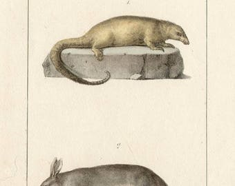 Anteater and Aardvark - Antique French natural history lithograph, 1832