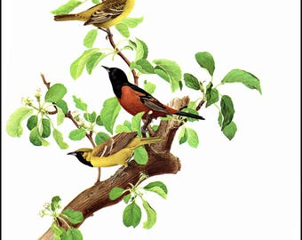 "Orchard Orioles painted by J F Landsdowne for the book Bird of the Eastern Forest2. The page is 9 1/2"" wide and 13"" tall."