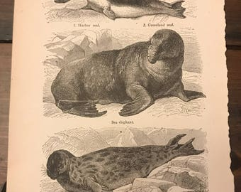 Antique Print - Harbor Seal, Greenland Seal, Sea Elephant, Elephant Seal, Hooded Seal - Book Page (C276)