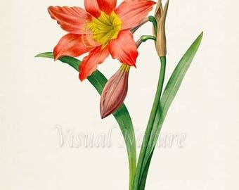 Amaryllis Flower Art Print, Botanical Art Print, Flower Wall Art, Flower Print, Floral Print, Redoute Art, red, Amaryllis equestre