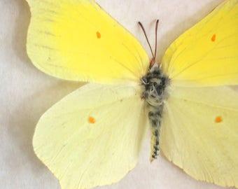 Real butterfly framed - Gonepterux rhamni