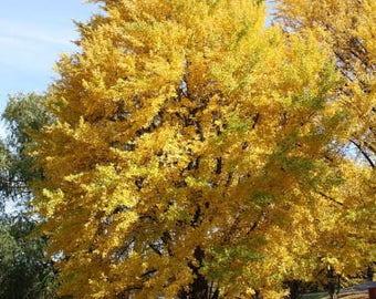 1 Ginko Tree (maidenhair tree-ginkobiloba)