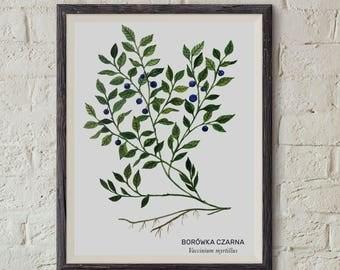 Borówka czarna, Jagody, European blueberry (Vaccinium myrtillus) - illustration - print