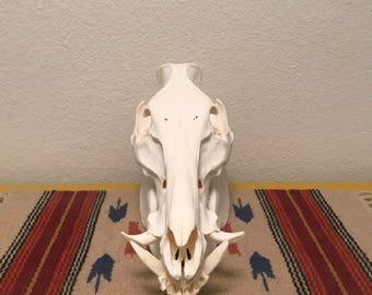 Wild Hog Skull