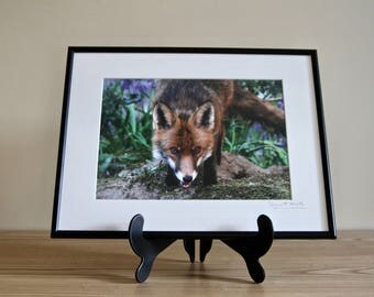 Framed Photo of a Fox on a mound in the woodland autographed by photographer Diana Grant, wall art, christmas gift, gift for her, wildlife