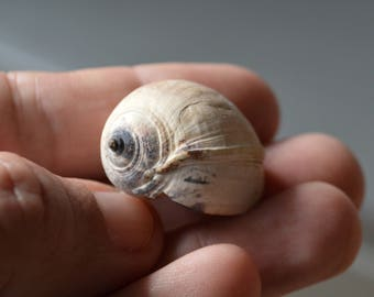 Fossil Collection Natural Fossil Fossil Gastropod Miocene Conch Exotic Destinantion Fossil Home Decor Tor Preserved Fossil Excellent Fossil