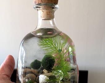 Upcycle Small Decanter Ecosphere Live Marimo Ball Zen Pet Terrarium