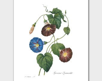Botanical Print, Morning Glory (Cottage and Cabin Art, Country Home Decor) -- Pierre Redoute