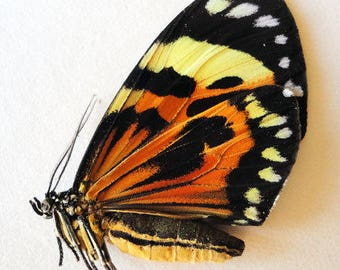 One Real Butterfly Day Flying Moth Red Orange Chetone Histrio Peru