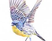 Kirtland's Warbler Fine Art Watercolor Painting Print