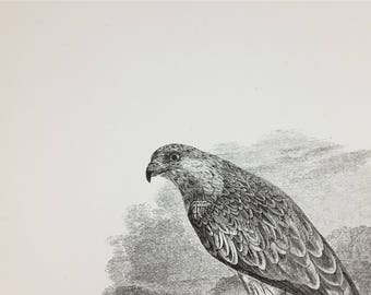 1889 - Original french antique etching of a raptor: the Red Kite - Antique engraving of animals from Paris France