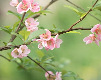 """Discounted 8x10"""" quince photo print - pink peach botanical art print, light pink flowering quince"""