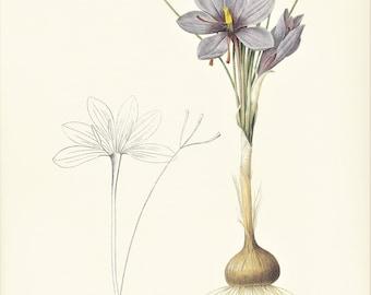 blue crocus sativus spring bulb vintage flower botanical Print Pierre-Joseph Redouté gift for plant lover gardener illustration 8.5 x 12 in