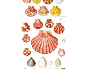 British shells, scallops, Board colorized - SOWERBY G, reproduction, vintage, poster, picture, nautical art